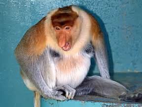 Proboscis Monkey Endangered