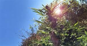 Wann Erntet Man Knoblauch : wie man cannabispflanzen richtig erntet sensi seeds ~ Lizthompson.info Haus und Dekorationen