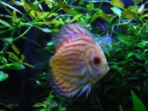 Freshwater Tropical Fish Discus