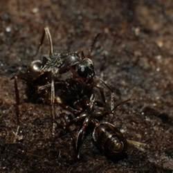 Sugar Ants Boric Acid for Water
