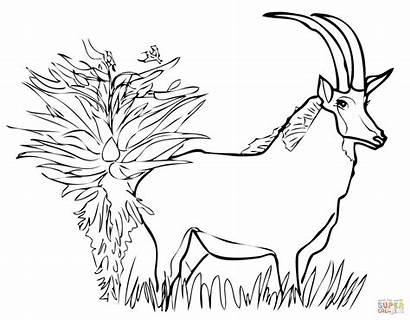 Antelope Coloring Springbok Sable Palanca Negra Antilope