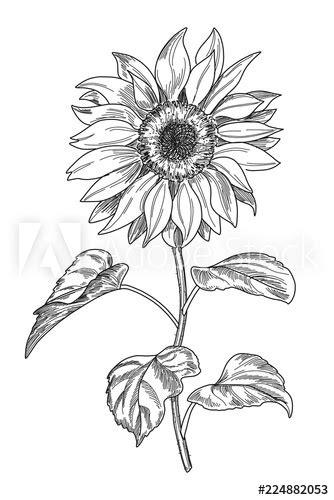 Sketch pen and ink vintage sunflower illustration, draft