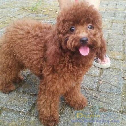 dunia anjing jual anjing maltese penitipan anjing