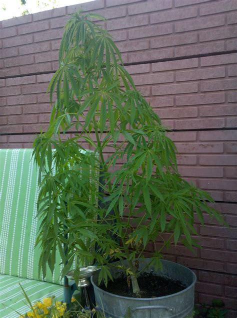 chambre de pousse cannabis des conseils pour le culture en intérieur à lumière
