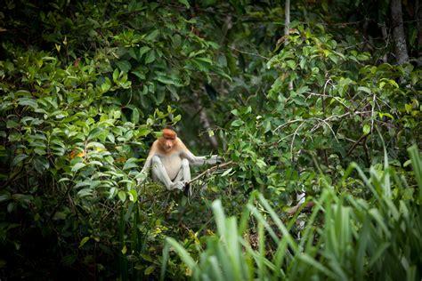 pulau kaget melihat kehidupan spesies langka bekantan