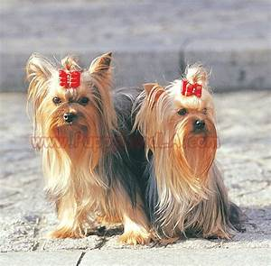 teacup maltese yorkie mix image search results