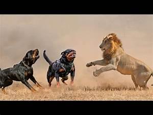 Pitbull Dog Vs Lion | www.pixshark.com - Images Galleries ...