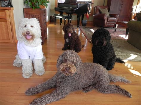 labradoodles vs goldendoodles aussiedoodle and