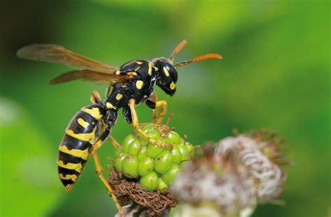 hausmittel gegen wespen we nature magazine ihr ratgeber f 252 r ein naturgesundes leben ausgestochen hom 246 opathie