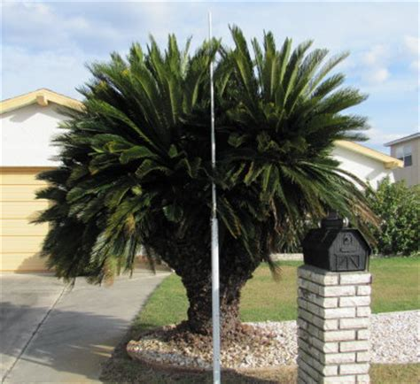 sago palm height field grown collected single 1 10ft ct