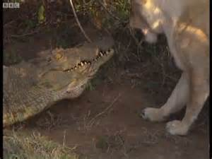 Lion vs Crocodile