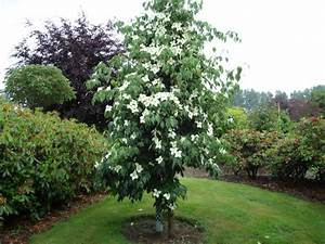 Cornus Kousa Schmetterling : dere kousa china girl cornus kousa china girl ~ Michelbontemps.com Haus und Dekorationen