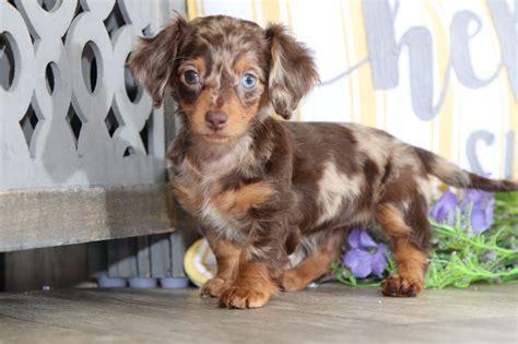 arizona darling chocolate dapple long haired dachshund puppies