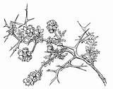 Shrub Drawing Thorny Burnet Getdrawings sketch template