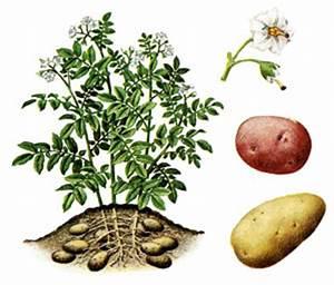 Période Pour Planter Les Pommes De Terre : fruit et legume ~ Melissatoandfro.com Idées de Décoration