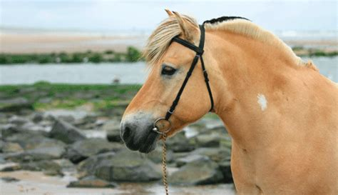 horse fjord pony horses breed norwegian americas dun riding yellow breeds mane colors brown mare grey trail equisearch origin foal