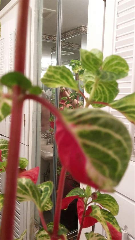 identification   identify red stemmed green