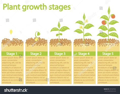 Stages Of A Seed Pictures To Pin On Pinterest Pinsdaddy