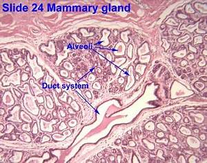 Image Result For Human Mammary Gland Histology Labeled