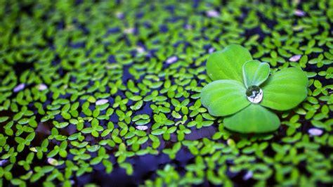 green petals  drop wallpapers