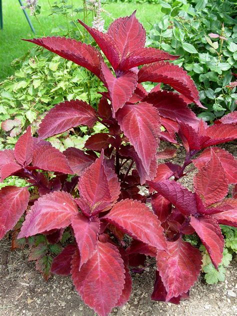 Velvety Bloodred Foliage Of Coleus 'big Red Judy