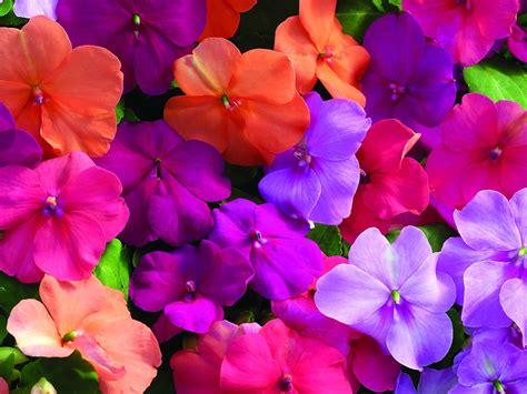 flower colors flowers for flower lovers impatiens flowers
