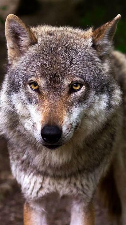 Wolf Iphone Wallpapers Backgrounds Phones Wolves Desktop