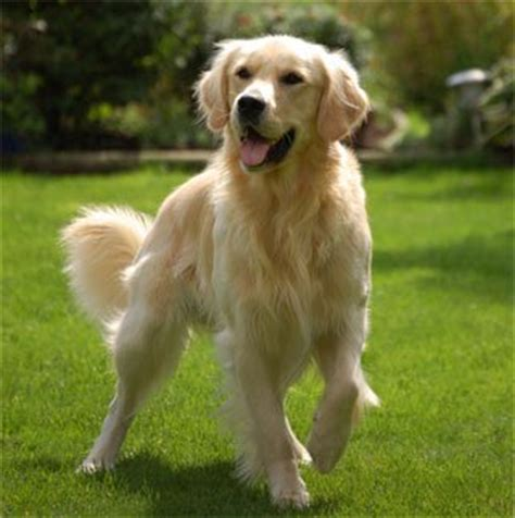 golden retriever chienlove76