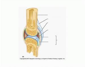 Synovial Joint