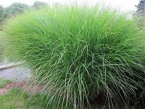 Garten Ohne Gras : 25 best ideas about miscanthus sinensis gracillimus on pinterest miscanthus gracillimus ~ Sanjose-hotels-ca.com Haus und Dekorationen