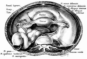 Volume 1  Chapter 2  Clinical Anatomy Of The Uterus
