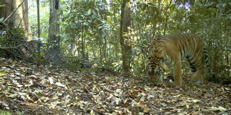 Aborsi Sumatra Warga Gunungkidul Digegerkan Harimau Seret Mayat Manusia