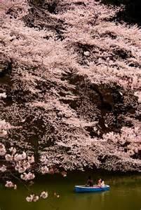 Tokyo Japan Cherry Blossom Trees