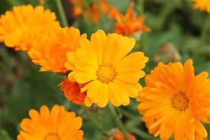 petals for sale calendula is an all really useful herb amoils
