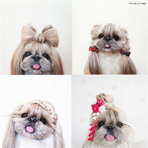 pekingese shih tzu shedding 25 best ideas about baby shih tzu on shih tzu