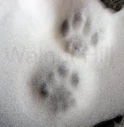 cat tracks walnut hill tracking nature center