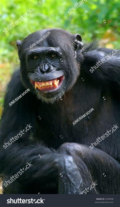 chimpanzee smile stock 2295908