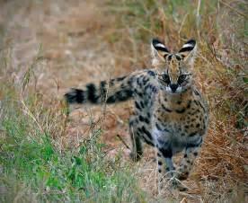 serval cat elsen karstad s pic a day kenya serval cat masai mara