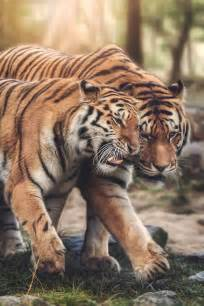 Best Tigr Images Pinterest Big Cats Wild