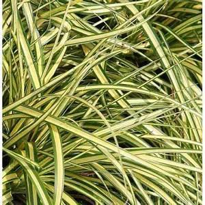 Carex Hachijoensis Evergold Pflege : gramin e basse carex oshimensis 39 evergold 39 la che panach e ~ Lizthompson.info Haus und Dekorationen