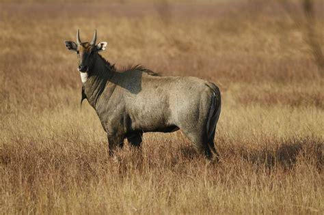 megafauna extinct animals lifegate animal nilgai species