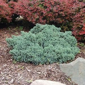 Blue Star Juniper | Flowers and Gardening | Pinterest