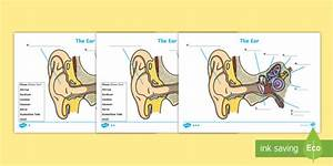 Ear Diagram Without Labels  U0026 With Them