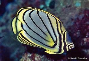 Meyer's Butterflyfish, Chaetodon meyeri - Tim's Tropical ...