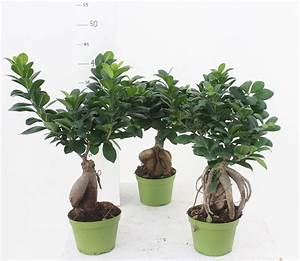 Bonsai Ficus Ginseng : bonsai ficus ginseng 250 g 14 cm pot green florpagano succulents cactus and bonsai florpagano di ~ Buech-reservation.com Haus und Dekorationen