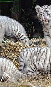 Photos: Fierce white tiger cubs