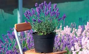 Lavendel Im Topf überwintern : ob im topf oder beet so berwintern sie lavendel richtig k belpflanzen ~ Frokenaadalensverden.com Haus und Dekorationen
