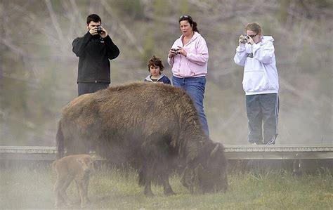 tourists   close  yellowstones bison