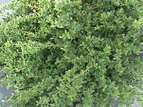 low growing plants low growing evergreen shrubs south carolina garden guru