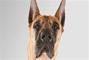 The World's Largest Dogs – American Kennel Club